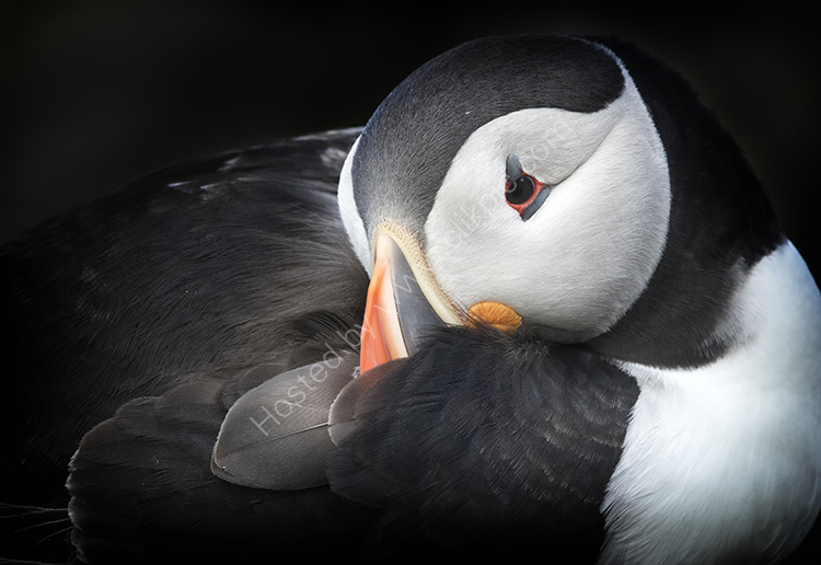 Sleeping Puffin