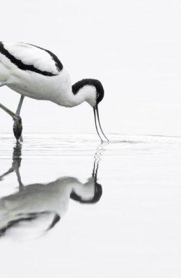 Avocet Reflection