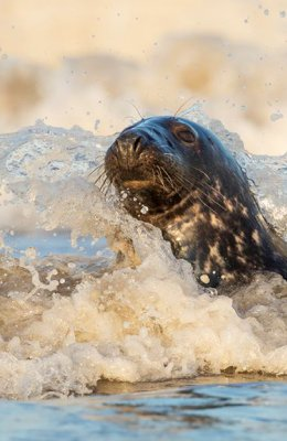 Seal in a Wave