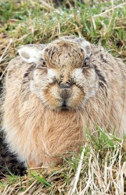 Brown Hare at Springtime