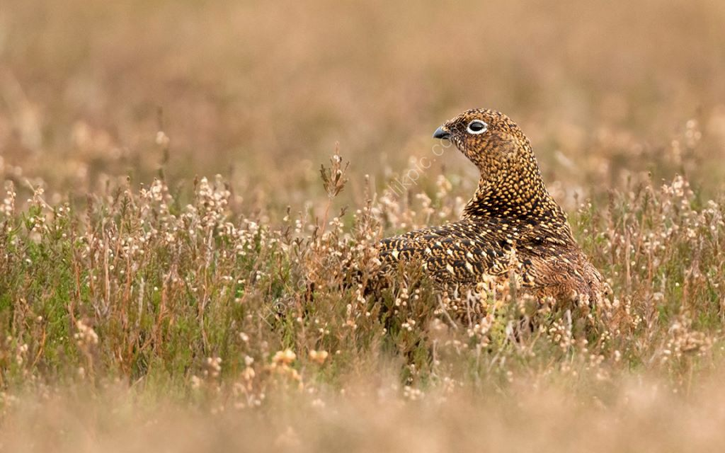Female Red in Golden Heather