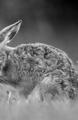 Mono Hare