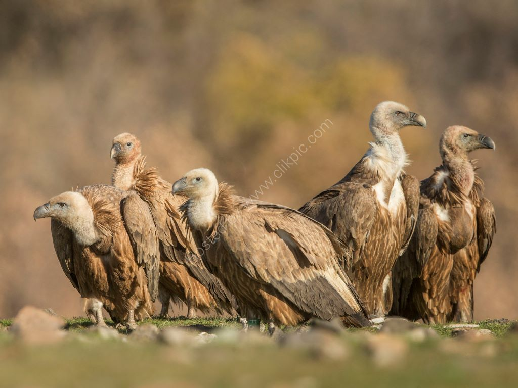 A Group of Vultures