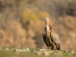 Vulture and bones