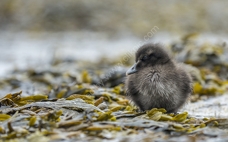 Eider Chick in Seaweed