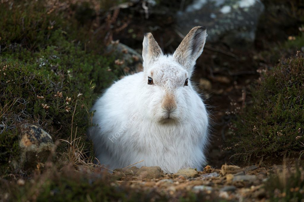 Hare In Heather