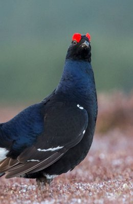 Black Grouse in Heather 3