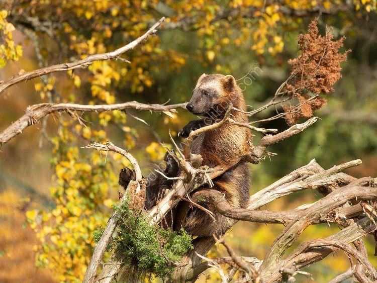 Wolverine in Autumn