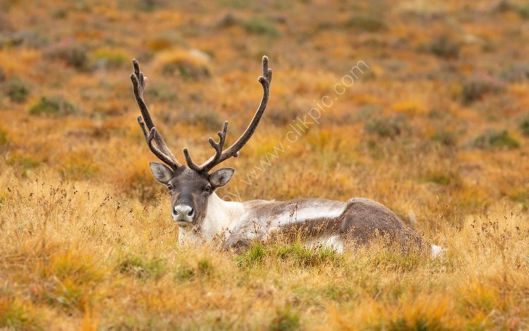 Resting Stag in Autumn
