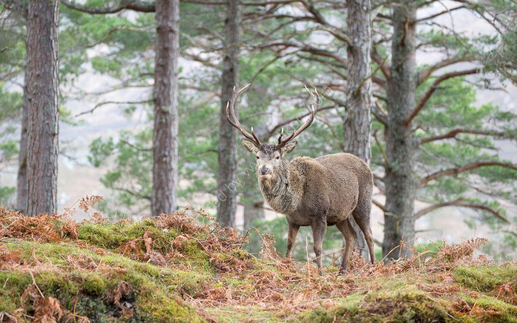 Cairghorm Deer