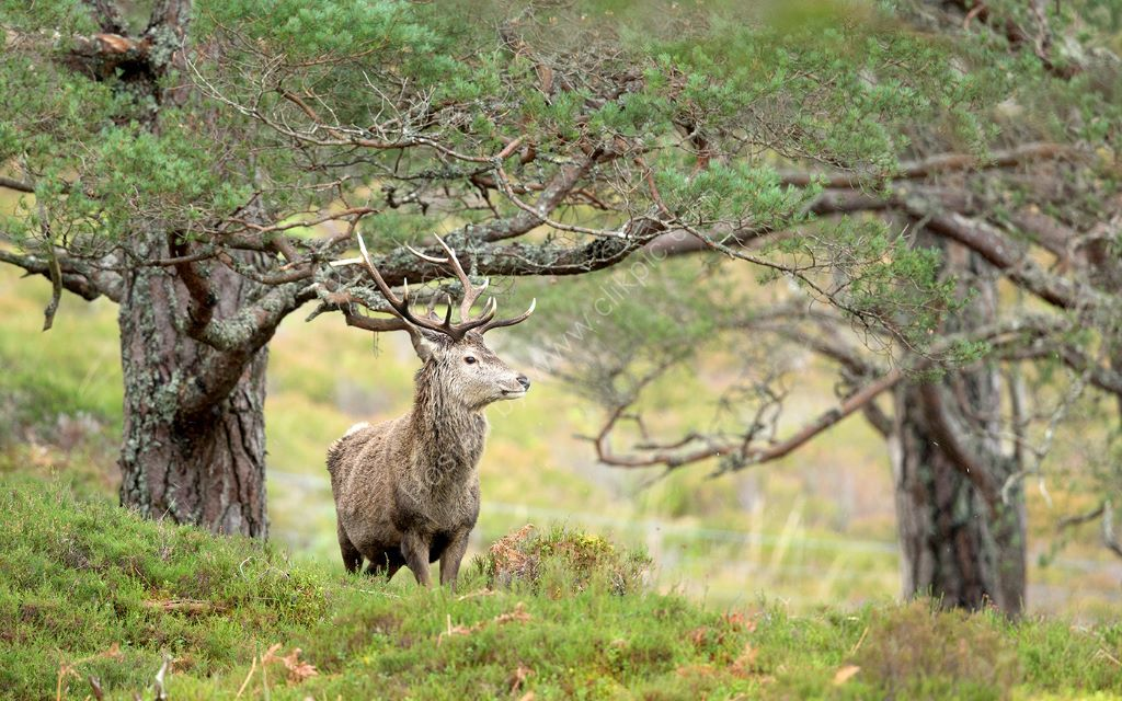 Cairngorm Deer 3