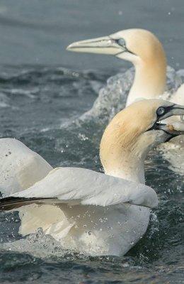 Fishing Gannet