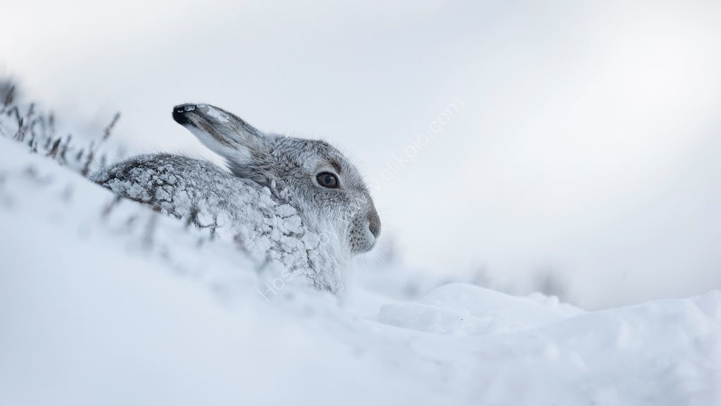 Hare in Snow 4