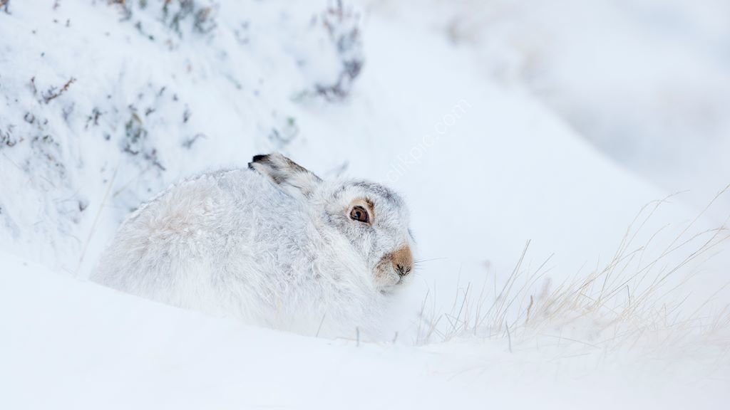 Hare In Snow 5