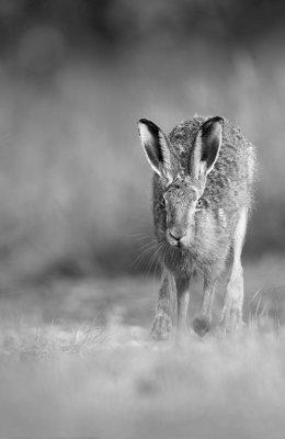 Mono Hare 2