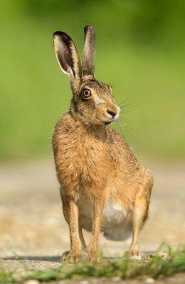 Hare In Sunshine