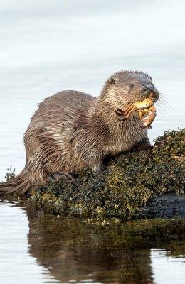 Sea Otter Eats Crab