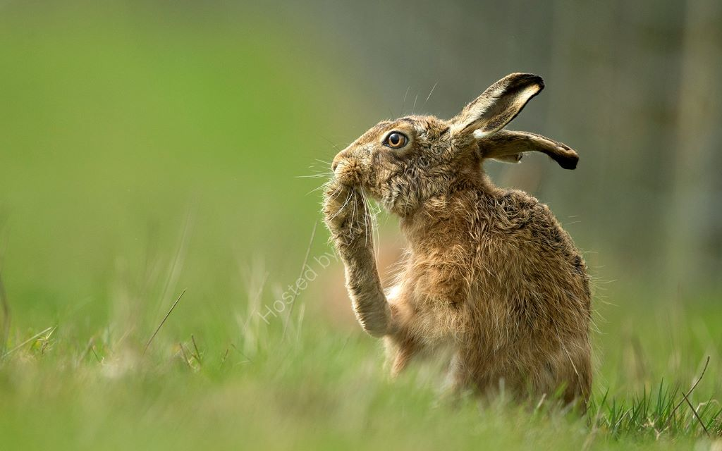 Hare Cleans Paw