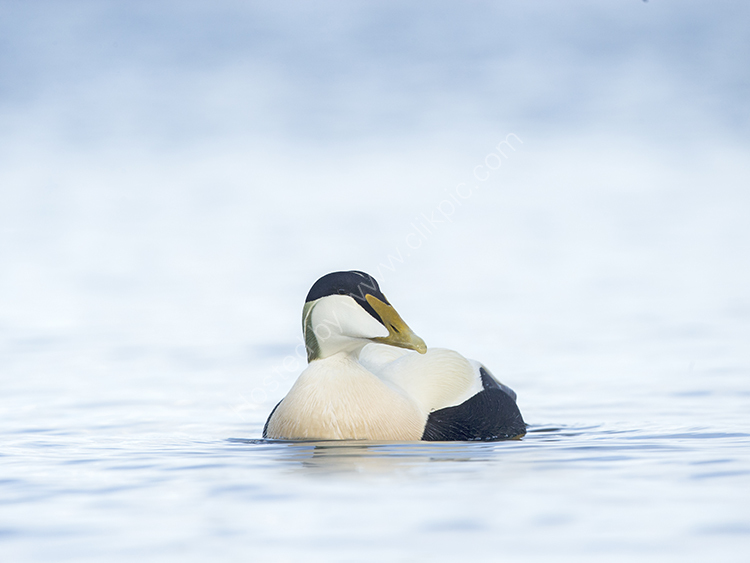 Male Eider on Sea