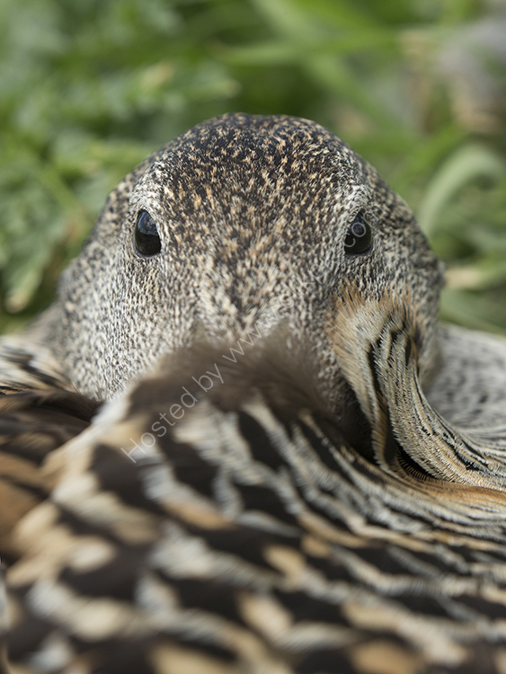 Eyes of an Eider