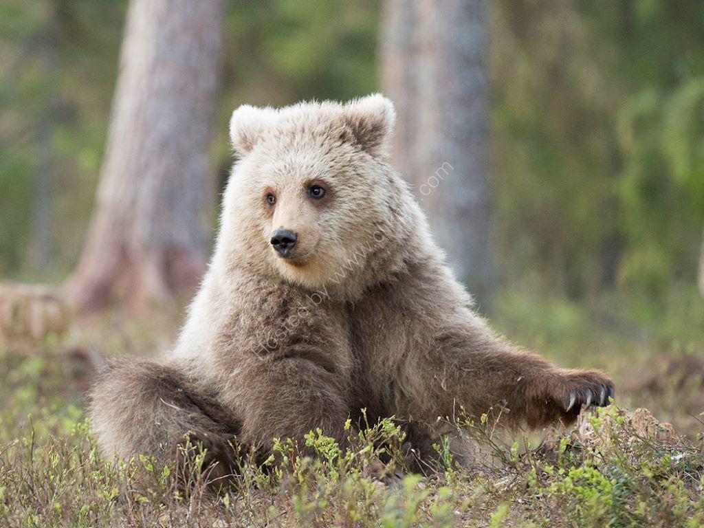 Hairy Bear 3