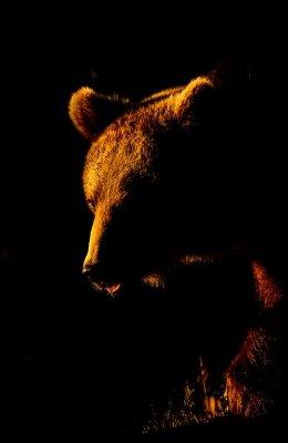 Rim Lit Bear