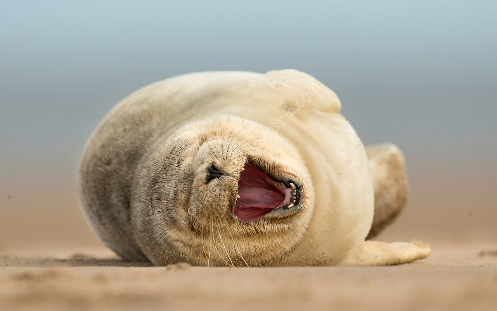 Common Seal Yawn
