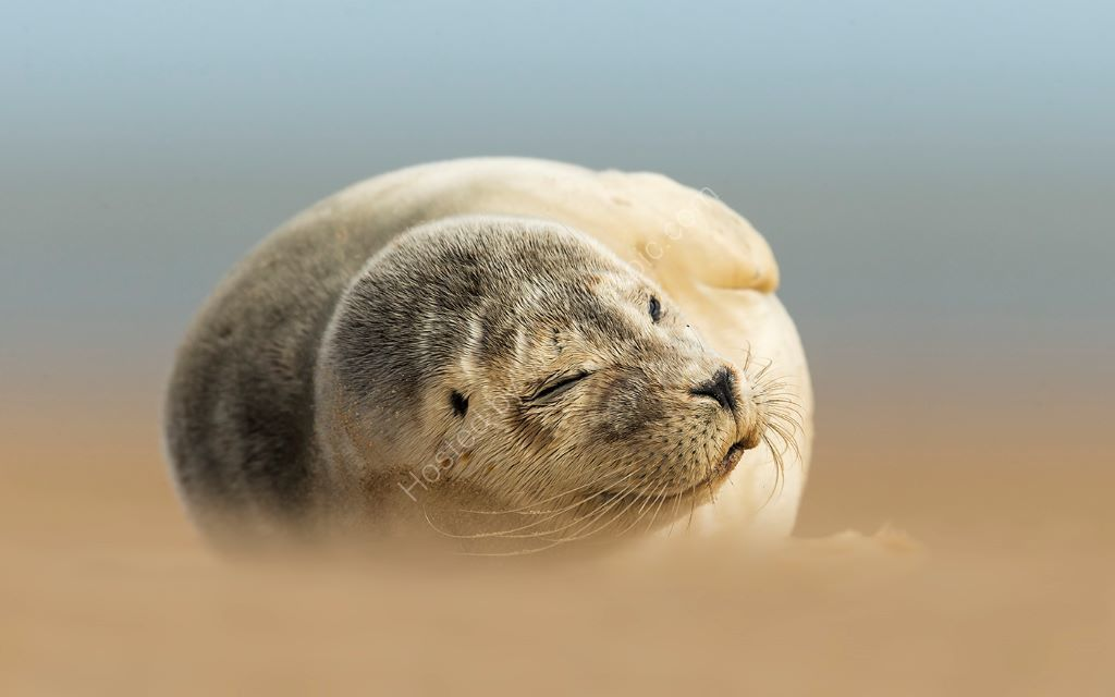 Seal in Wind