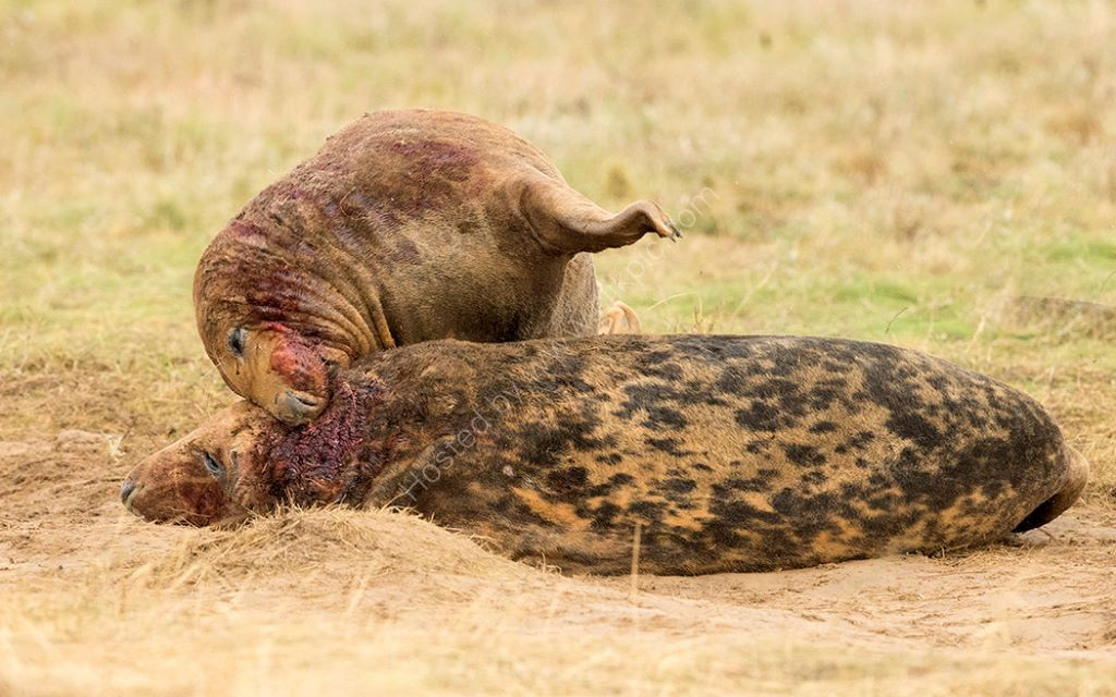 Bull Seal Fight