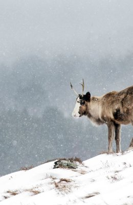 Rheindeer in Snow