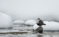 Dipper in Snow