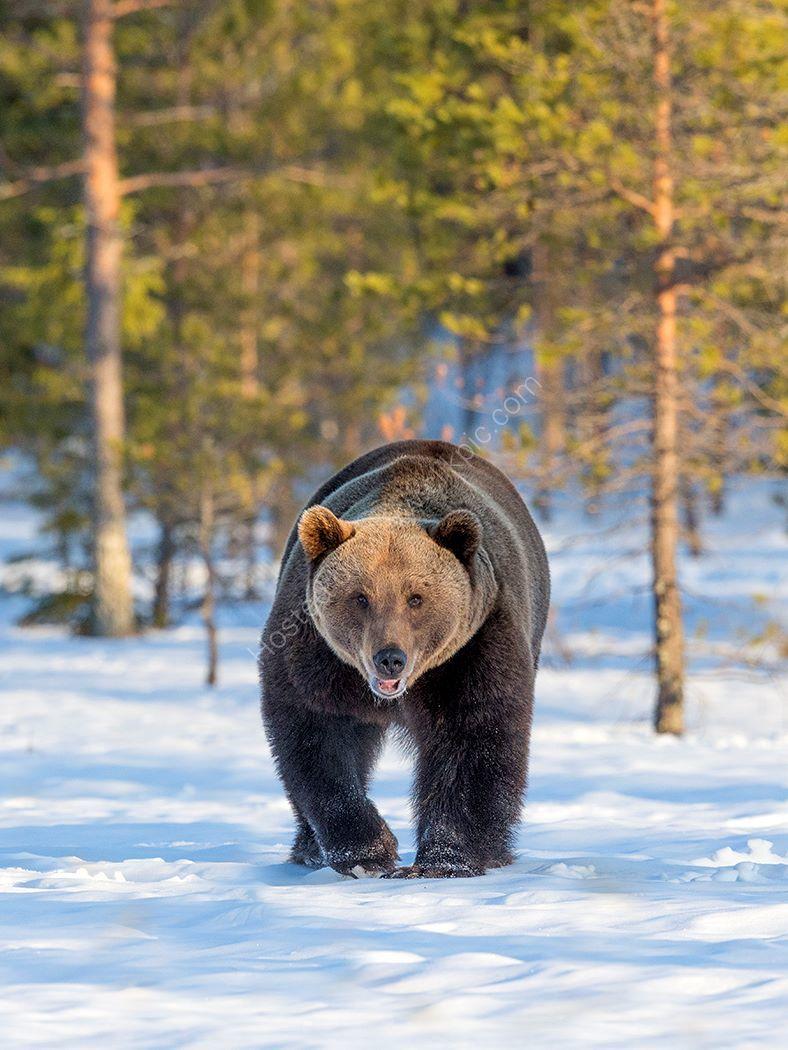 Approacing Bear