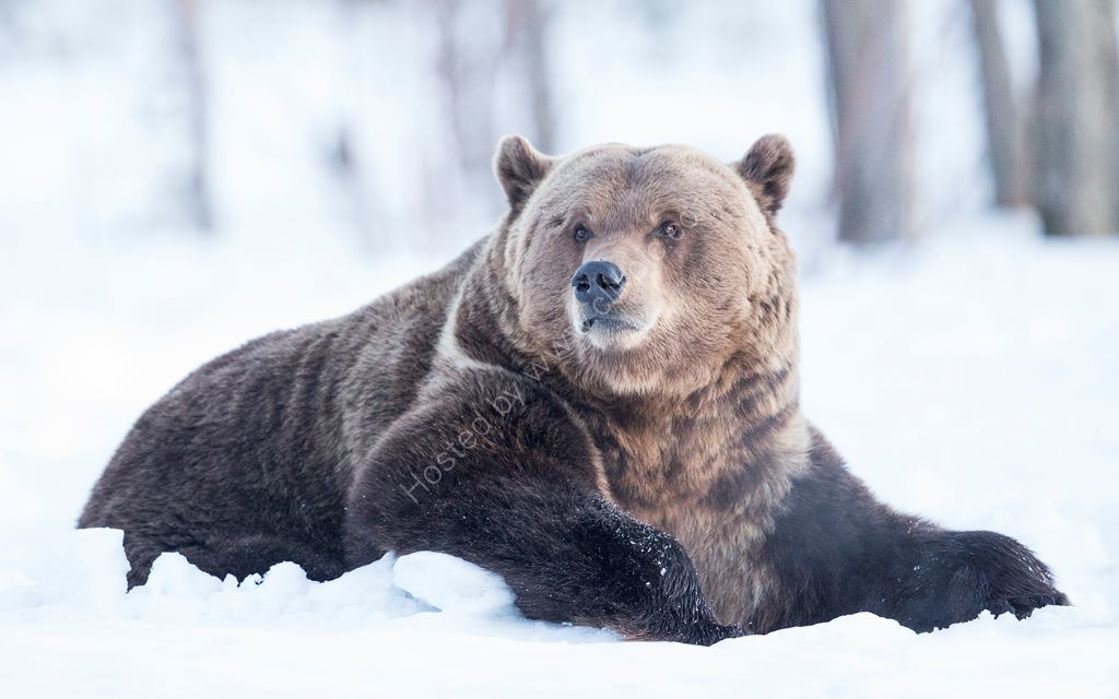Panda the Bear in Snow