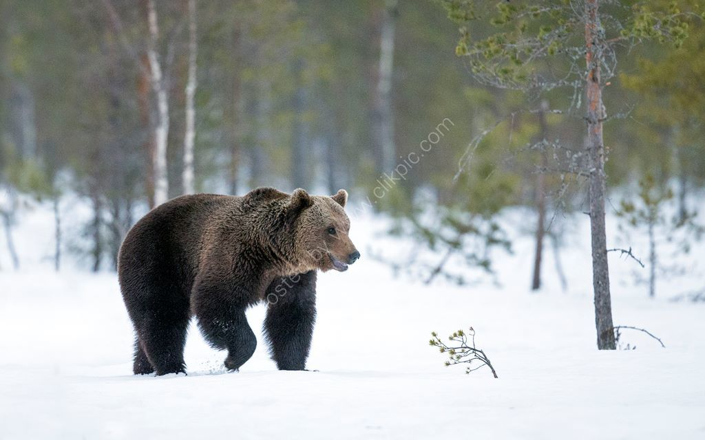 Bear in Snow 3