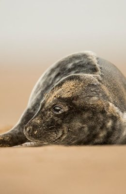 Seal Pup in Sand