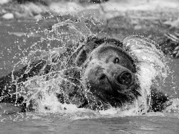 Grizzly In Water
