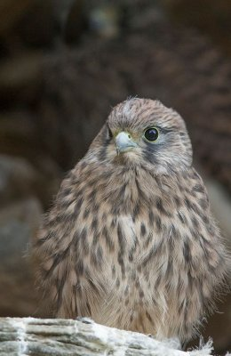 Kestrel Chick 2