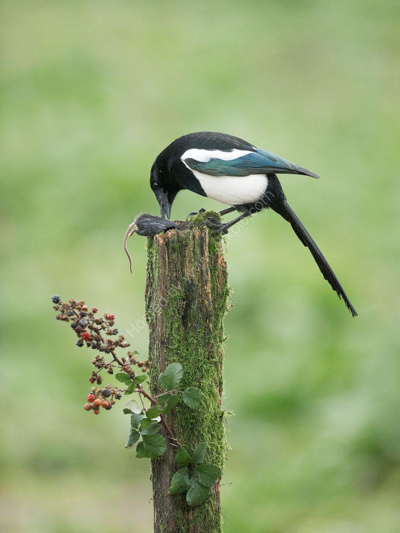 Magpie Eats Mouse