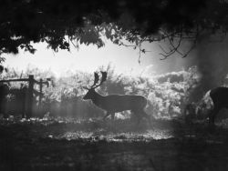 Fallow Stag in Mist