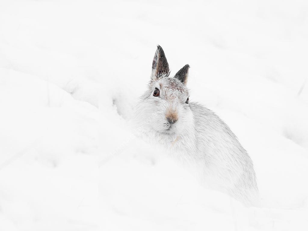 Hare In Snow 3