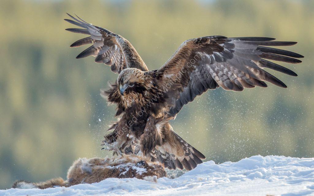 Golden Eagle 27