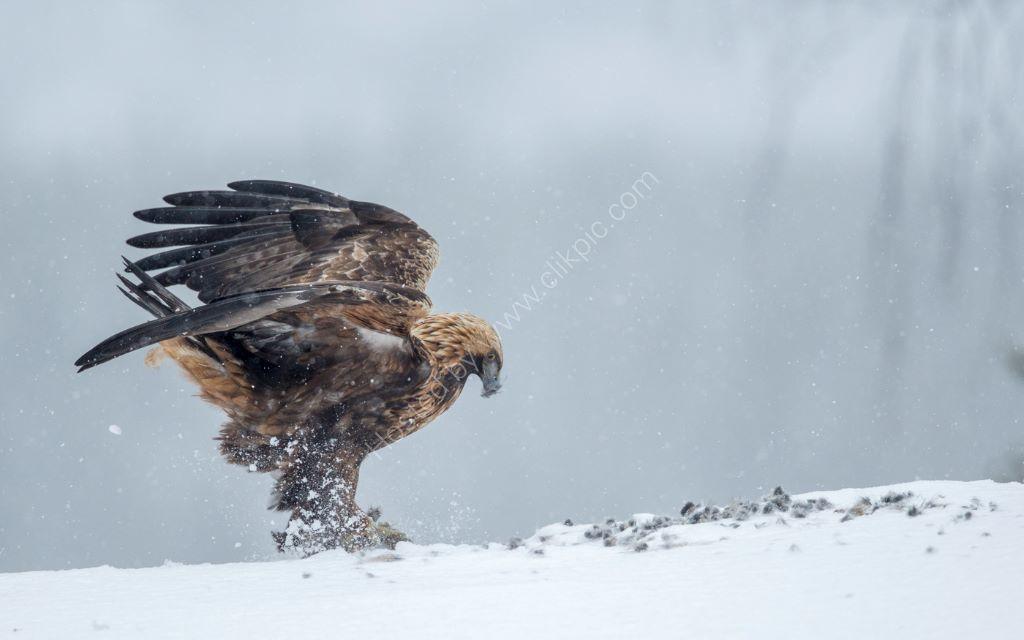 Golden Eagle 16