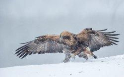Golden Eagle 19