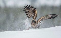 Golden Eagle 22