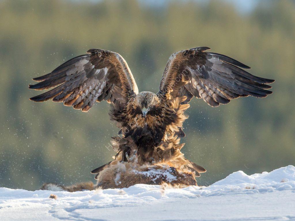 Golden Eagle 38