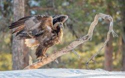 Golden Eagle 24
