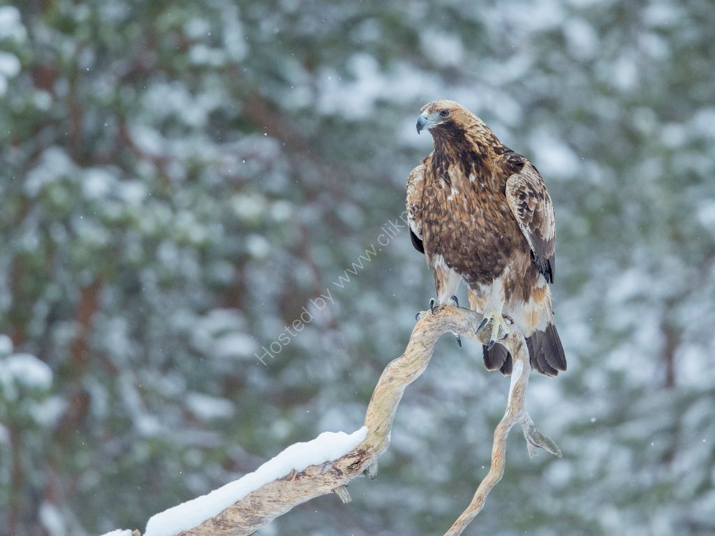 Golden Eagle on branch