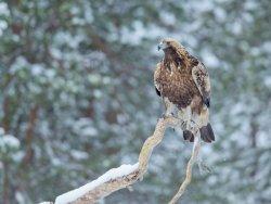 Golden Eagle on branch