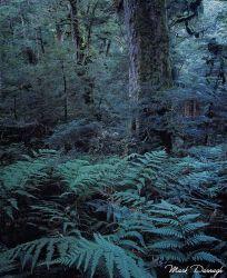 Beech Forest, Te Urewera