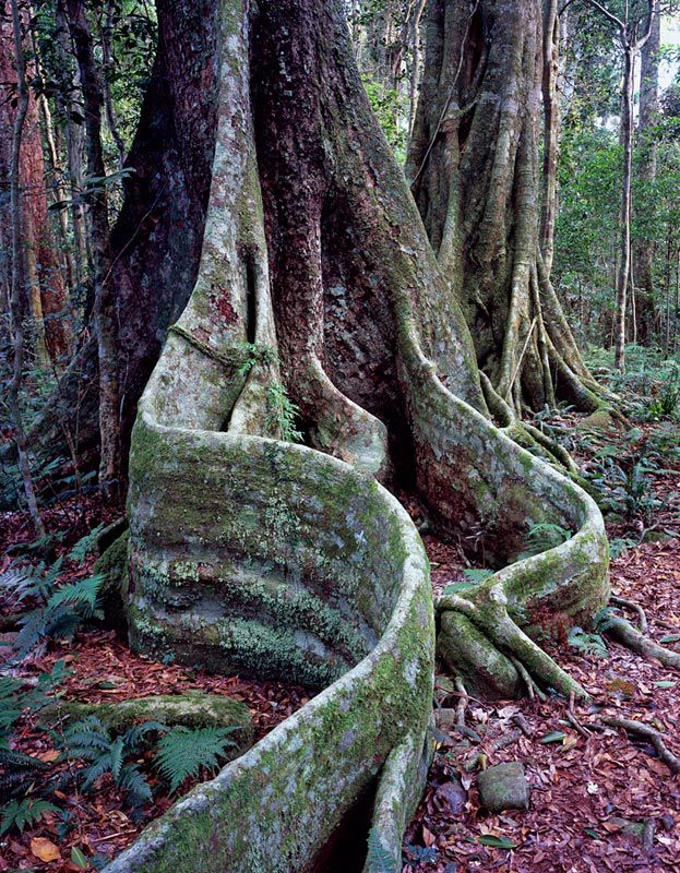 Booyang and Strangler Fig